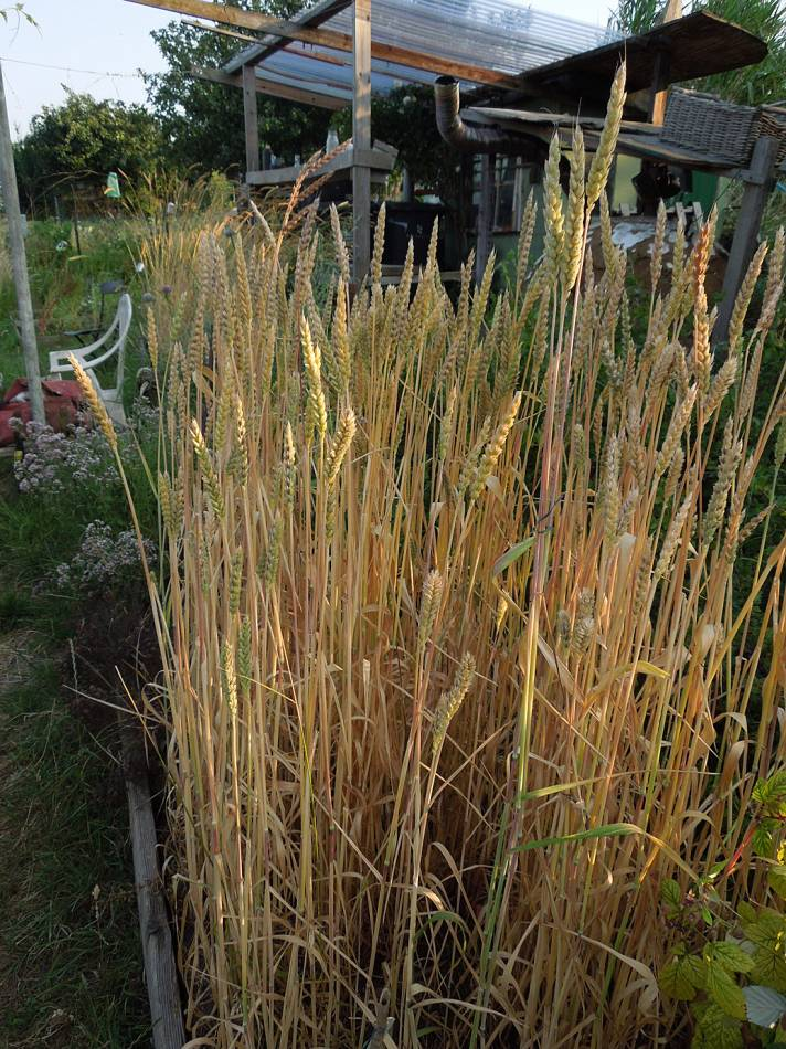 purple spelt, plot review 22 July 13 - 6:10pm&nbsp;20<sup>th</sup>&nbsp;Jul.&nbsp;'13