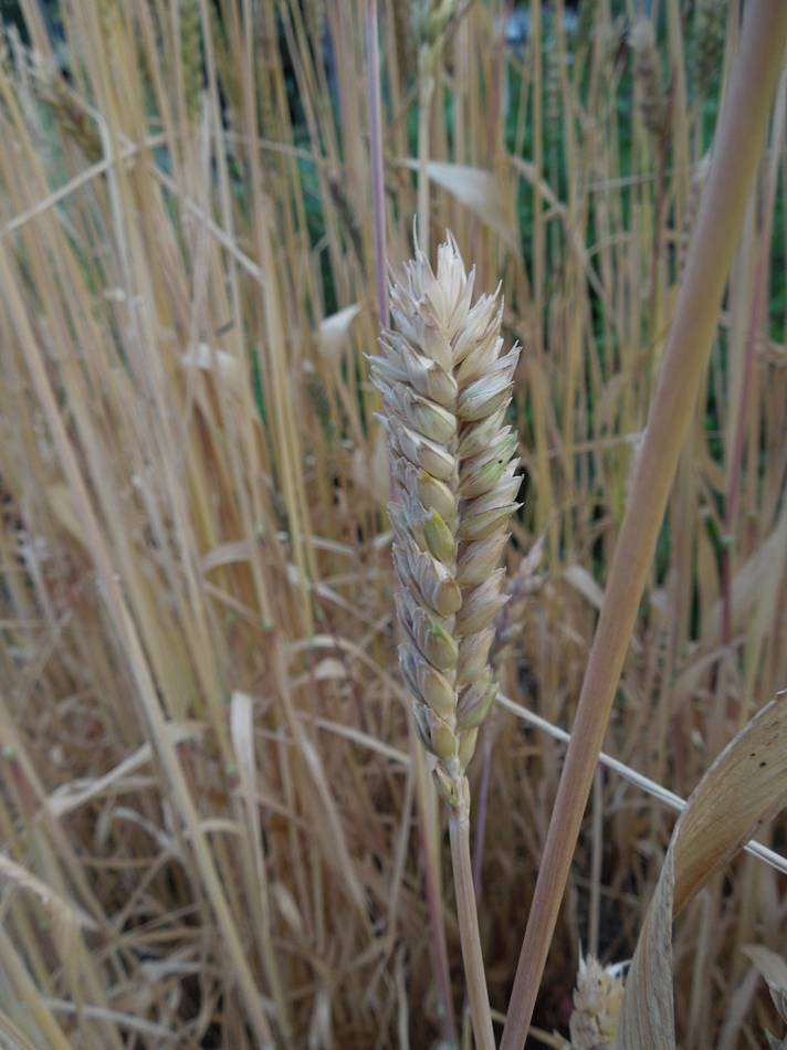 squat type ears, purple spelt review, plot review 22 July '13 - 7:15pm&nbsp;21<sup>st</sup>&nbsp;Jul.&nbsp;'13