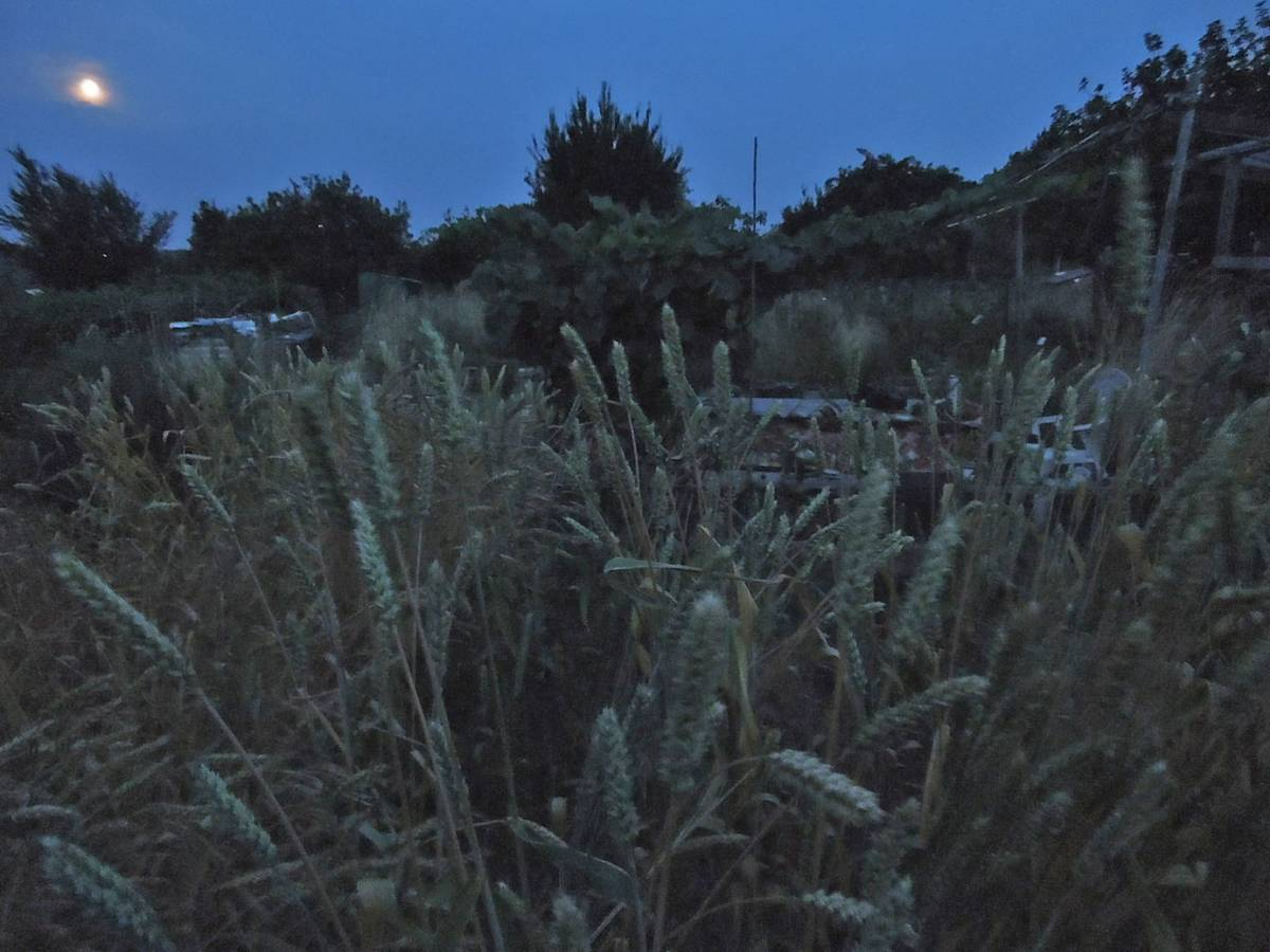 wheat by moonlight, plot review 22 July '13 - 8:45pm&nbsp;21<sup>st</sup>&nbsp;Jul.&nbsp;'13