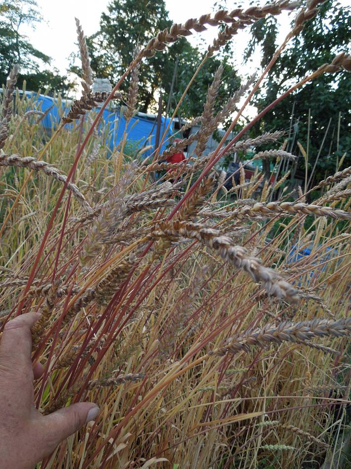 Orange Devon Blue Rough Chaff, plot review 23/7/13 - 7:38pm&nbsp;23<sup>rd</sup>&nbsp;Jul.&nbsp;'13