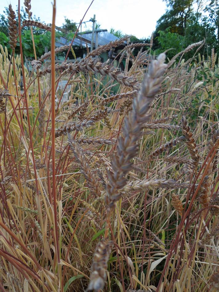 Orange Devon Blue Rough Chaff, plot review 23/7/13 - 7:39pm&nbsp;23<sup>rd</sup>&nbsp;Jul.&nbsp;'13