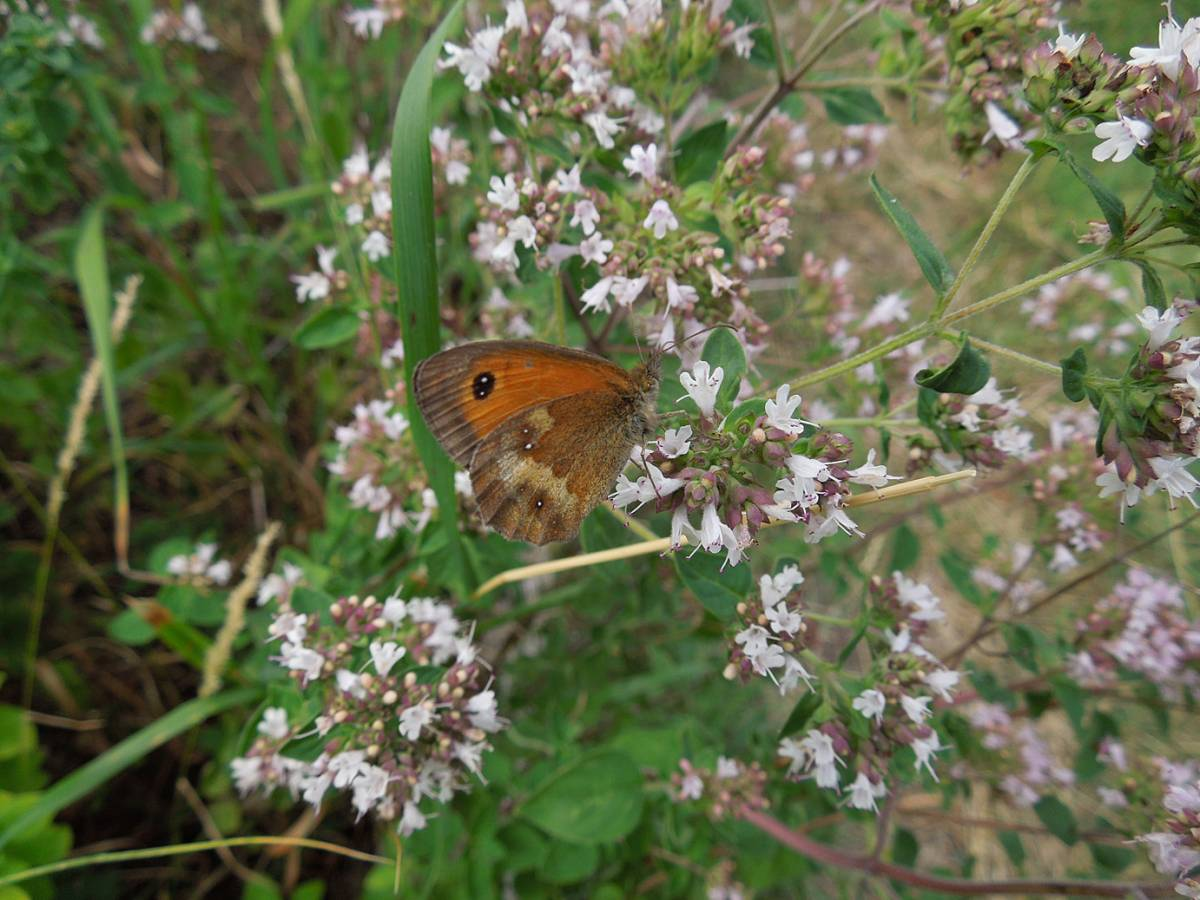 Gatekeeper butterfly - one of many feasting on marjoram flowers, plot review 29/7/13 - 2:31pm&nbsp;26<sup>th</sup>&nbsp;Jul.&nbsp;'13