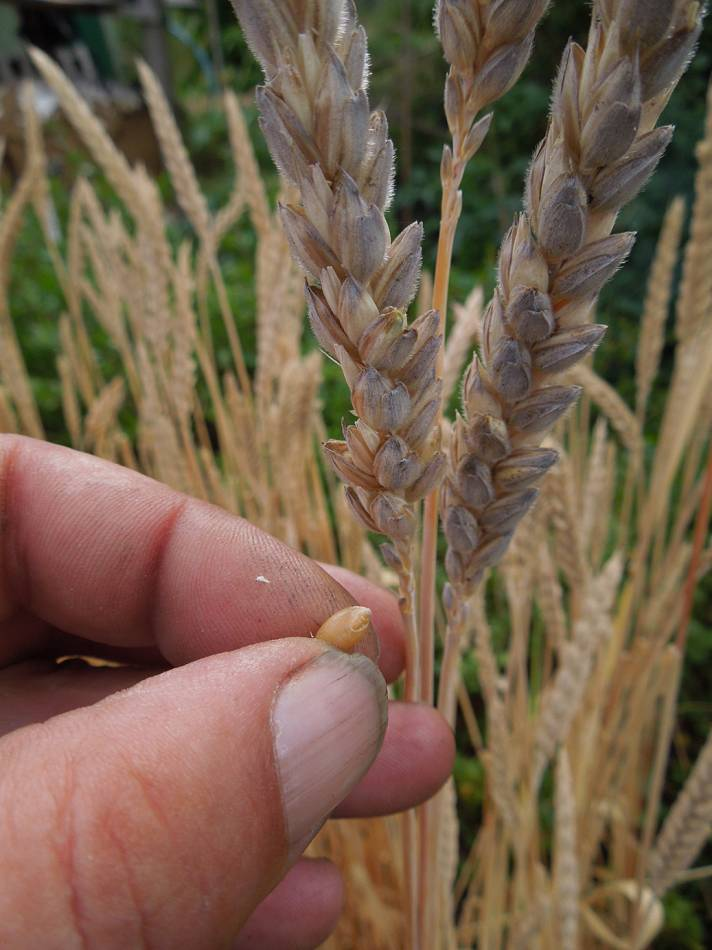 possible cross Hen Gymro 'purple spelt' but without purple grain, plot review 29/7/13 - 2:33pm&nbsp;26<sup>th</sup>&nbsp;Jul.&nbsp;'13