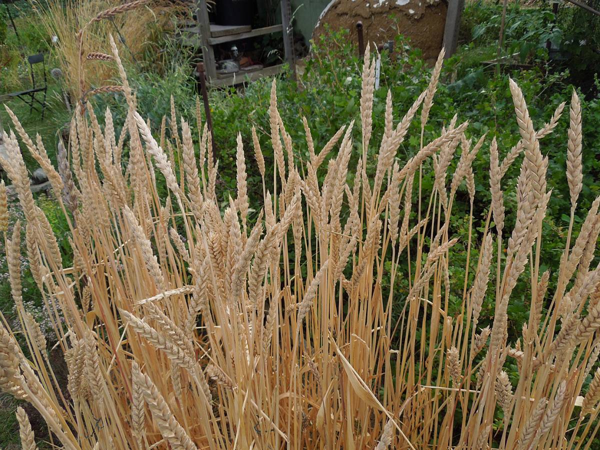 the more typical 'purple spelt' ears, plot review 29/7/13 - 2:33pm&nbsp;26<sup>th</sup>&nbsp;Jul.&nbsp;'13