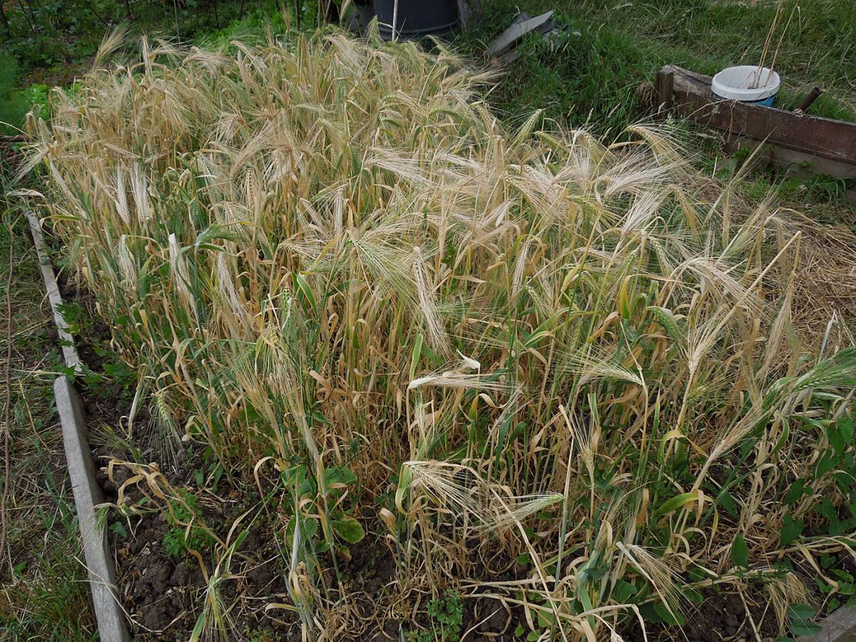 naked barley mix, plot review 29/7/13 - 3:44pm&nbsp;26<sup>th</sup>&nbsp;Jul.&nbsp;'13