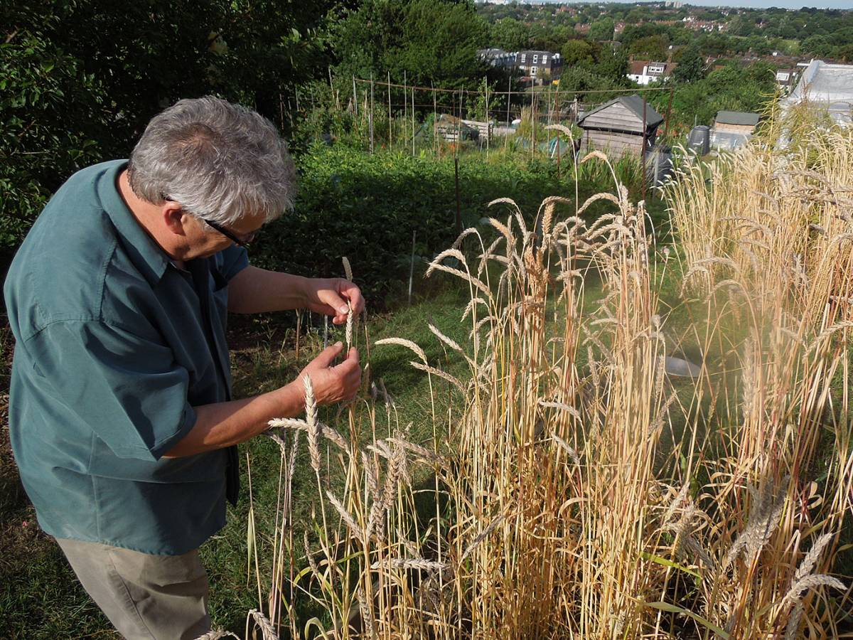 pioneer organic baker Mr Syd Aston of London and Wales viewing allotment Hen Gymro - 4:32pm&nbsp;3<sup>rd</sup>&nbsp;Aug.&nbsp;'13