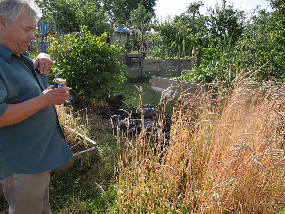 pioneer organic baker Mr Syd Aston of London and Wales viewing allotment Hen Gymro - 4:39pm&nbsp;3<sup>rd</sup>&nbsp;Aug.&nbsp;'13
