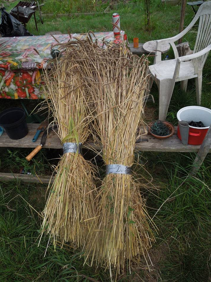 Orange Devon Blue Chaff harvested - 6:20pm&nbsp;3<sup>rd</sup>&nbsp;Aug.&nbsp;'13