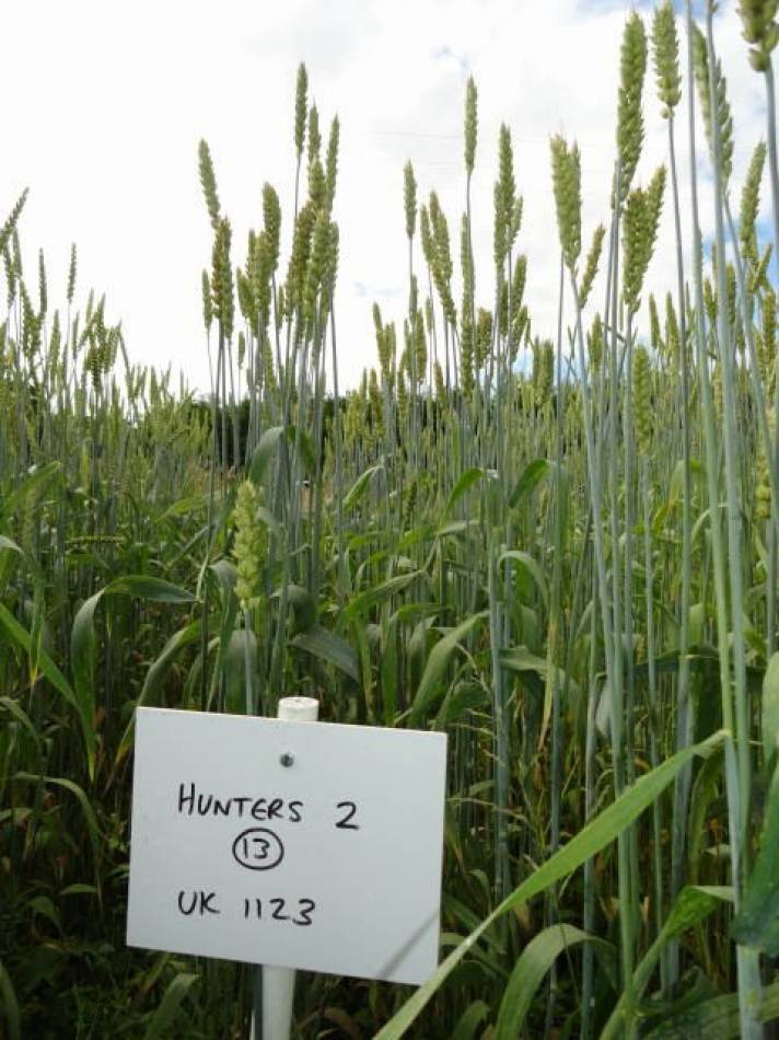 Craibstone, 'Scotland the Bread' heritage wheat trials © <a href=http://www.breadmatters.com target=_blank>Bread Matters</a> - 9:53am&nbsp;29<sup>th</sup>&nbsp;Jul.&nbsp;'13