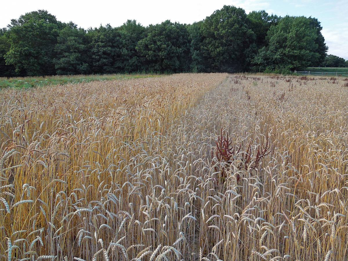 start of WoWo harvest - 5:29pm&nbsp;5<sup>th</sup>&nbsp;Aug.&nbsp;'13