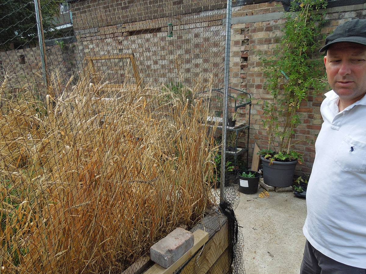 with Dan McAllister on Brockley community garden and Damant heritage spring wheat mix - 1:50pm&nbsp;9<sup>th</sup>&nbsp;Aug.&nbsp;'13