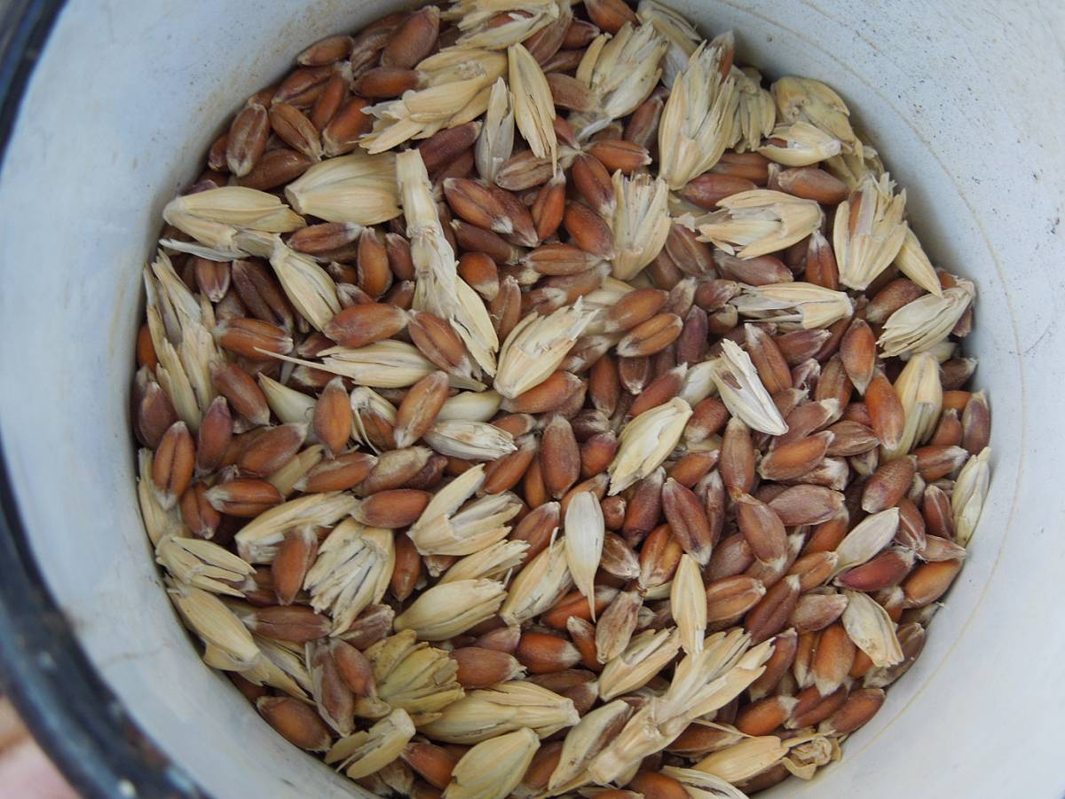 selected free-threshing purple spelt, harvest plot review - 5:14pm&nbsp;10<sup>th</sup>&nbsp;Aug.&nbsp;'13
