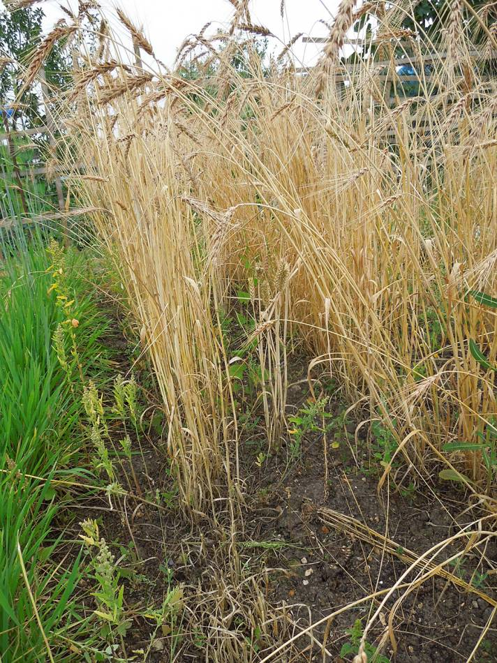 Modern in amongst heritage wheat, Sudbourne School plot harvest - 2:14pm&nbsp;16<sup>th</sup>&nbsp;Aug.&nbsp;'13