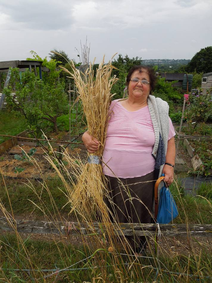 sheaf of Madeiran wheat held by Mrs. Luis, wife of Antonio Luis who gave us it originally, Sudbourne School plot harvest - 2:29pm&nbsp;16<sup>th</sup>&nbsp;Aug.&nbsp;'13