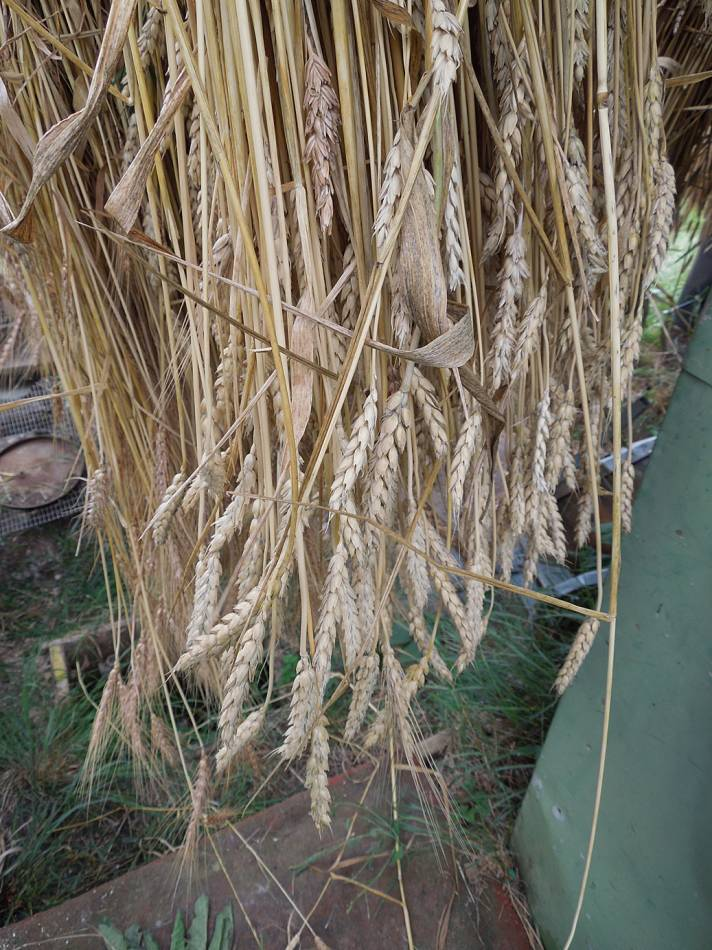 Sudbourne School plot harvest, Madeiran sheaf - 3:59pm&nbsp;16<sup>th</sup>&nbsp;Aug.&nbsp;'13
