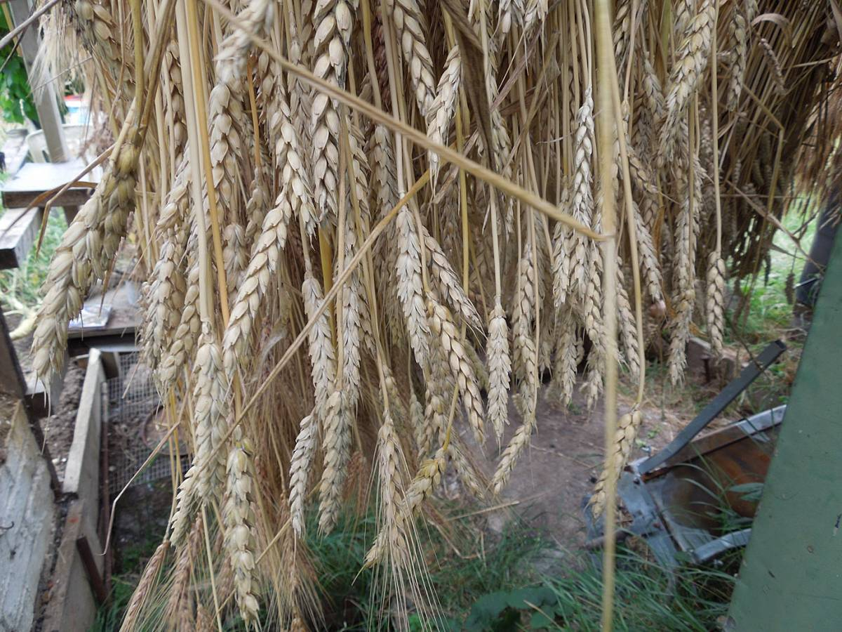 Sudbourne School plot harvest, Madeiran sheaf showing mix of ears - 4:00pm&nbsp;16<sup>th</sup>&nbsp;Aug.&nbsp;'13