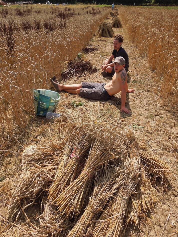 just a quick break for Vincent and Nathan, WoWo harvest 2013 - 11:06am&nbsp;19<sup>th</sup>&nbsp;Aug.&nbsp;'13