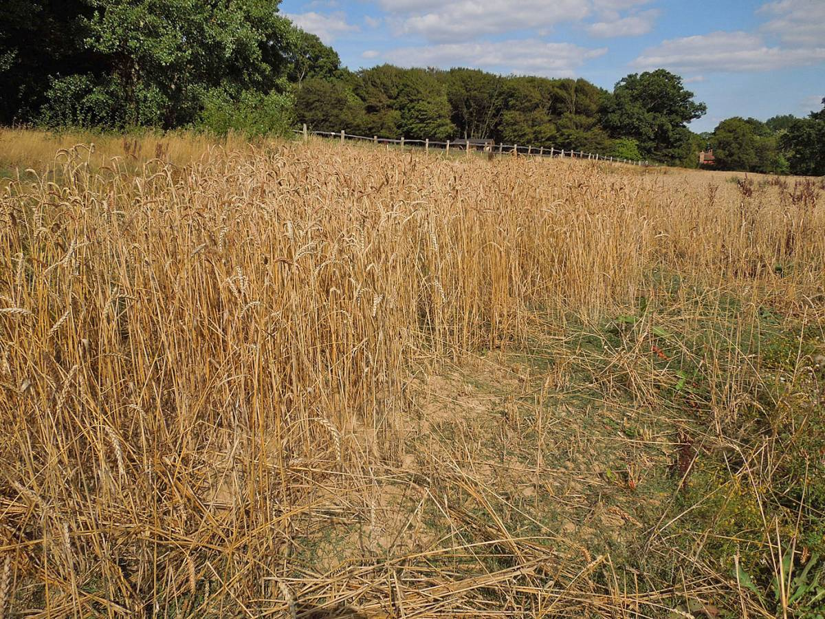 top stand of heritage winter mix, WoWo harvest 2013 - 2:50pm&nbsp;19<sup>th</sup>&nbsp;Aug.&nbsp;'13