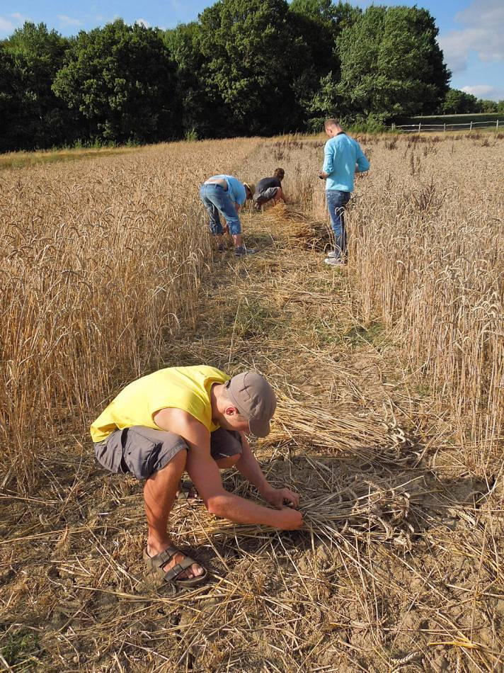 cutting band of modern wheat next to the heritage, WoWo harvest 2013 - 3:45pm&nbsp;19<sup>th</sup>&nbsp;Aug.&nbsp;'13