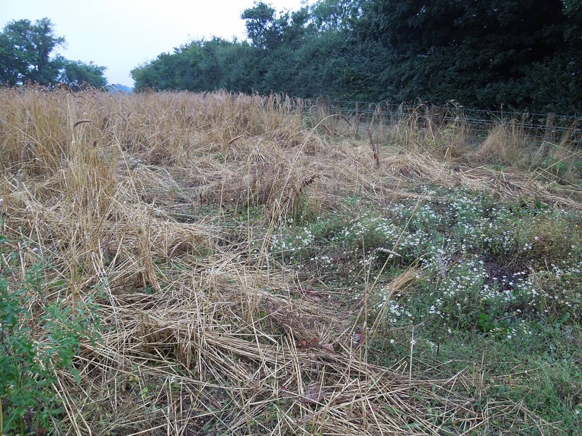 badger damage, Perry Court harvest 2013 - 6:38pm&nbsp;23<sup>rd</sup>&nbsp;Aug.&nbsp;'13