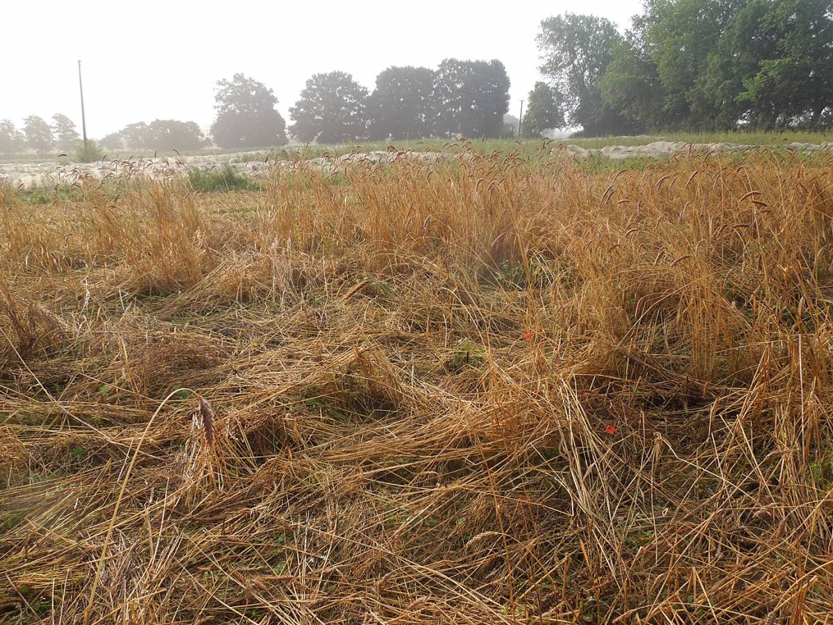the badger damaged patch, mostly recoverable, Perry Court harvest 2013 - 6:38am&nbsp;24<sup>th</sup>&nbsp;Aug.&nbsp;'13