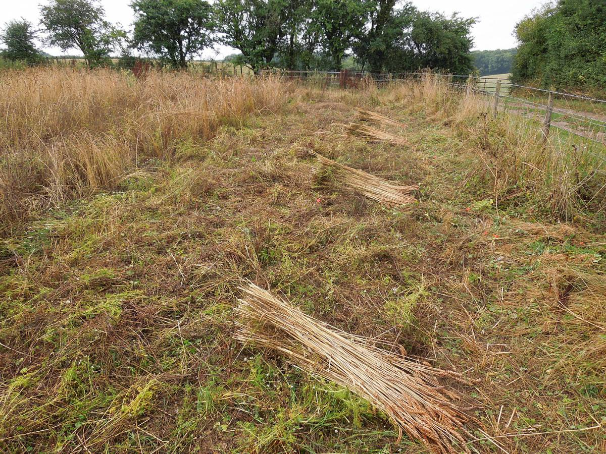 Kentisch Red Straw sheaves ready to be bound - very nice strong straw, slightly more chubby head than the Old Kent Red, Perry Court harvest 2013 - 8:37am&nbsp;24<sup>th</sup>&nbsp;Aug.&nbsp;'13