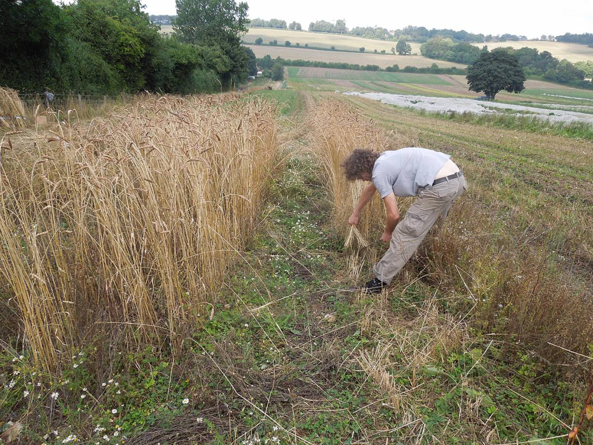 James Thorn of <a href='https://twitter.com/WildBreadHead' target=_blank>Wild Bread</a> completing harvest of Old Kent Red, Perry Court harvest 2013 - 2:44pm&nbsp;24<sup>th</sup>&nbsp;Aug.&nbsp;'13