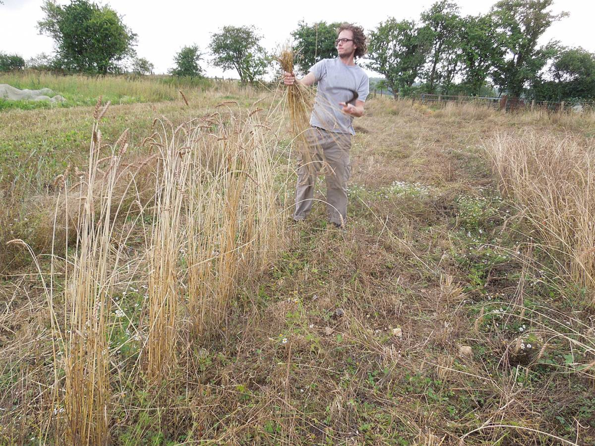 James Thorn of <a href='https://twitter.com/WildBreadHead' target=_blank>Wild Bread</a> completes harvest of Red Lammas, Perry Court harvest 2013 - 3:36pm&nbsp;24<sup>th</sup>&nbsp;Aug.&nbsp;'13