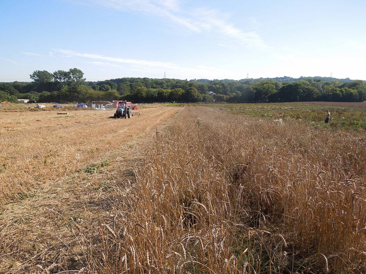 rescue of our wheat under way, WoWo final harvest 2013 - 3:16pm&nbsp;4<sup>th</sup>&nbsp;Sep.&nbsp;'13