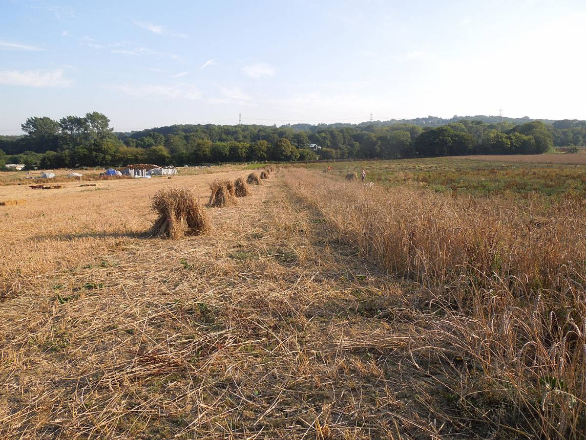 stooks of our 'Lambeth Latino' heritage winter mix and remaining crop, WoWo final harvest 2013 - 4:42pm&nbsp;4<sup>th</sup>&nbsp;Sep.&nbsp;'13