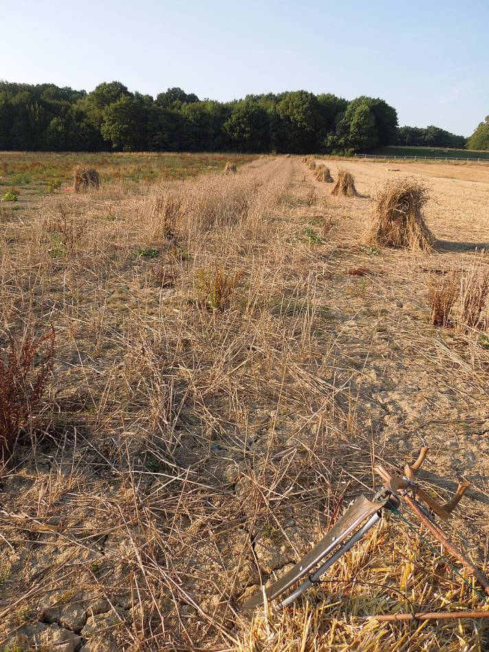 stooks of our 'Lambeth Latino' heritage winter mix and remaining crop, WoWo final harvest 2013 - 4:47pm&nbsp;4<sup>th</sup>&nbsp;Sep.&nbsp;'13