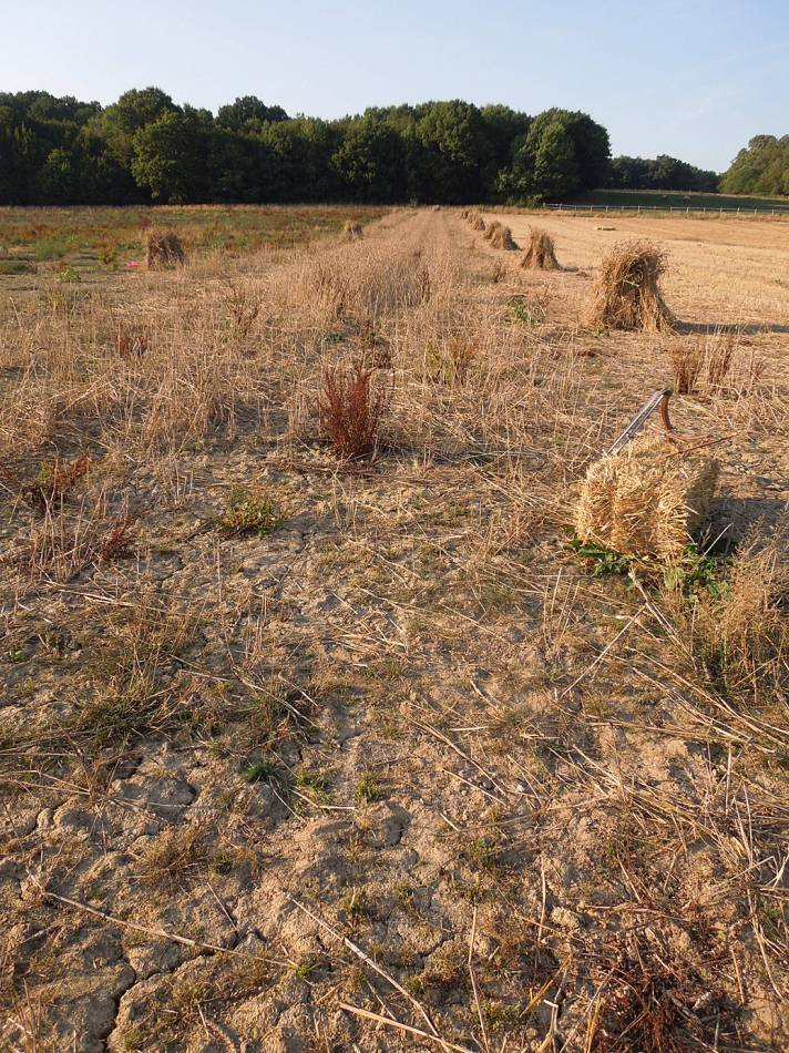 stooks of our 'Lambeth Latino' heritage winter mix and remaining crop, WoWo final harvest 2013 - 4:48pm&nbsp;4<sup>th</sup>&nbsp;Sep.&nbsp;'13