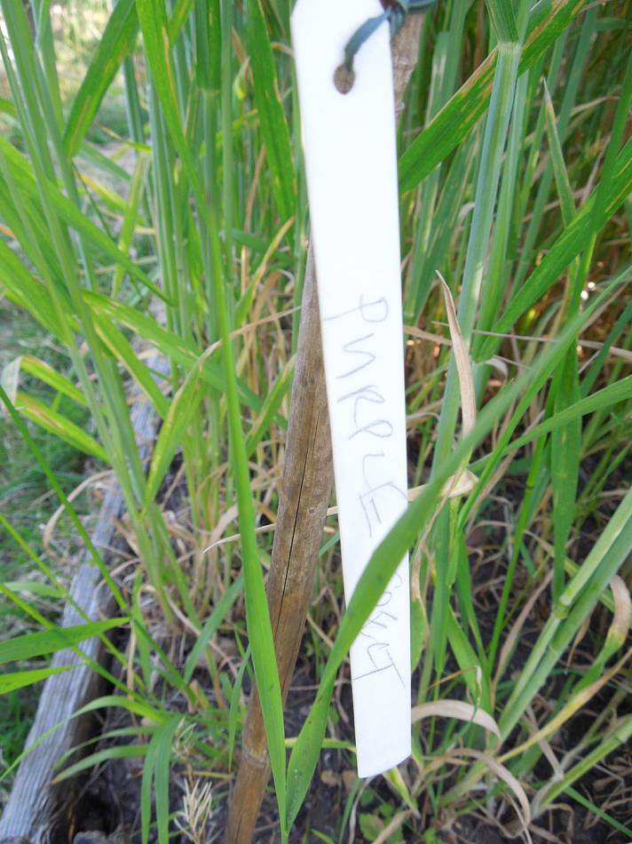 purple spelt, plot review 9/6/13 - 4:56pm&nbsp;7<sup>th</sup>&nbsp;Jun.&nbsp;'13