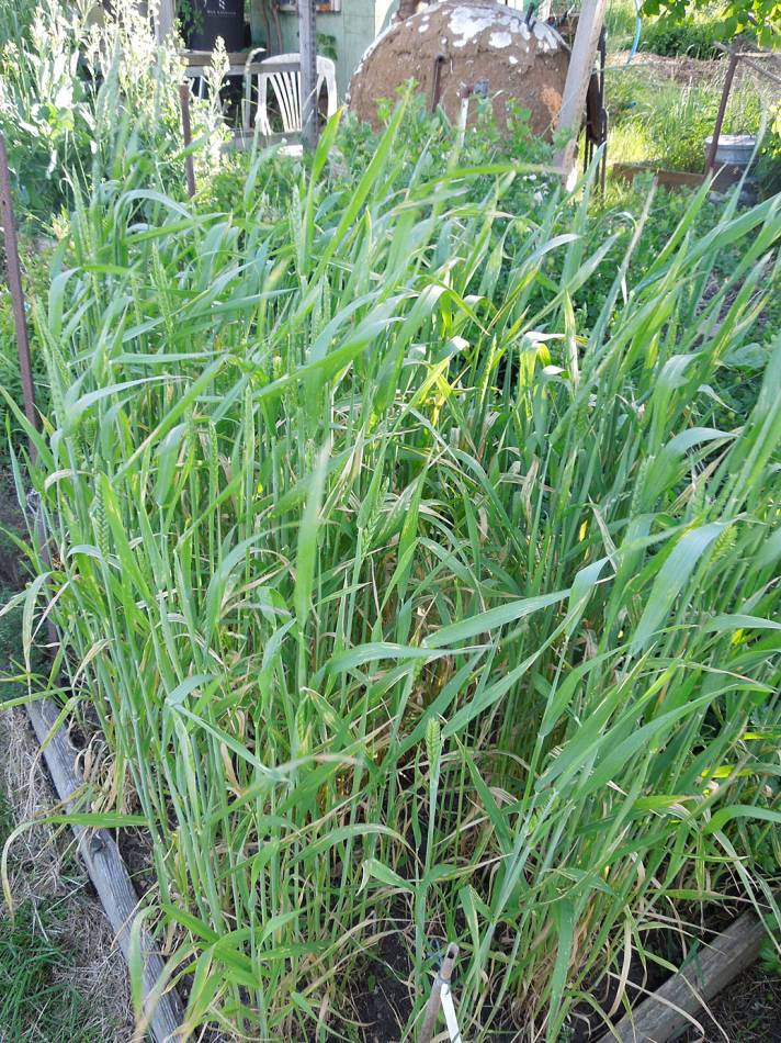 free threshing purple spelt, showing lot of leaf damage, plot review 9/6/13   - 4:56pm&nbsp;7<sup>th</sup>&nbsp;Jun.&nbsp;'13