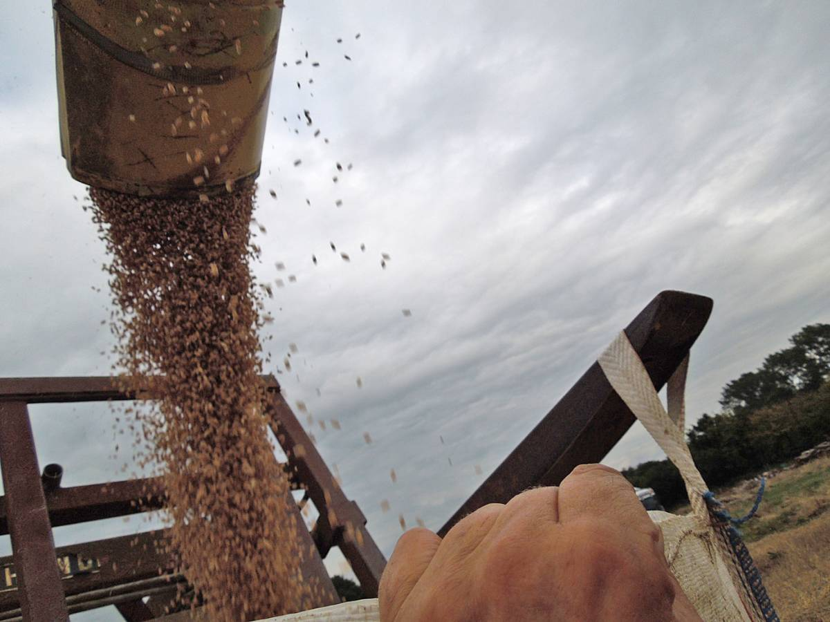 final harvest heritage mix grain flowing, WoWo - 2:54pm&nbsp;11<sup>th</sup>&nbsp;Sep.&nbsp;'13