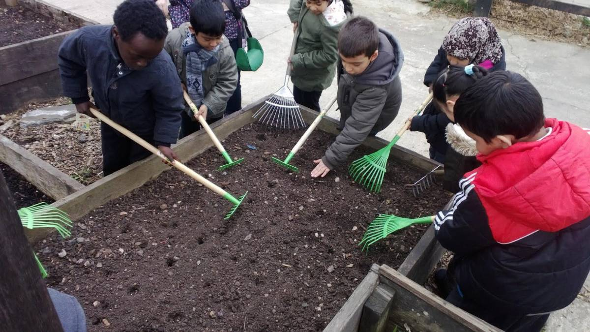 Stepney City Farm, heritage Spring wheat mix, seed from Perry Court Farm via BBA, Canterbury being sown by children from Ben Jonson school, Tower Hamlets