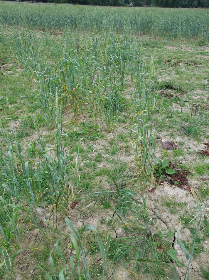 Old Hoary patch #1, crop review, WoWo Farm, early July '13 - 4:54pm&nbsp;1<sup>st</sup>&nbsp;Jul.&nbsp;'13