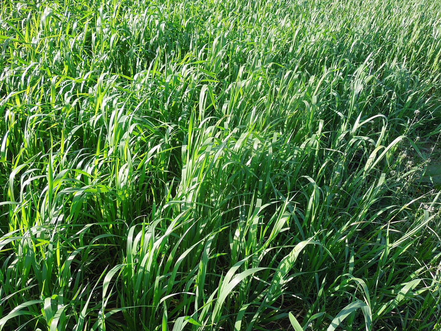 WoWo crop review - Red Lammas - 6:37pm&nbsp;21<sup>st</sup>&nbsp;May.&nbsp;'15