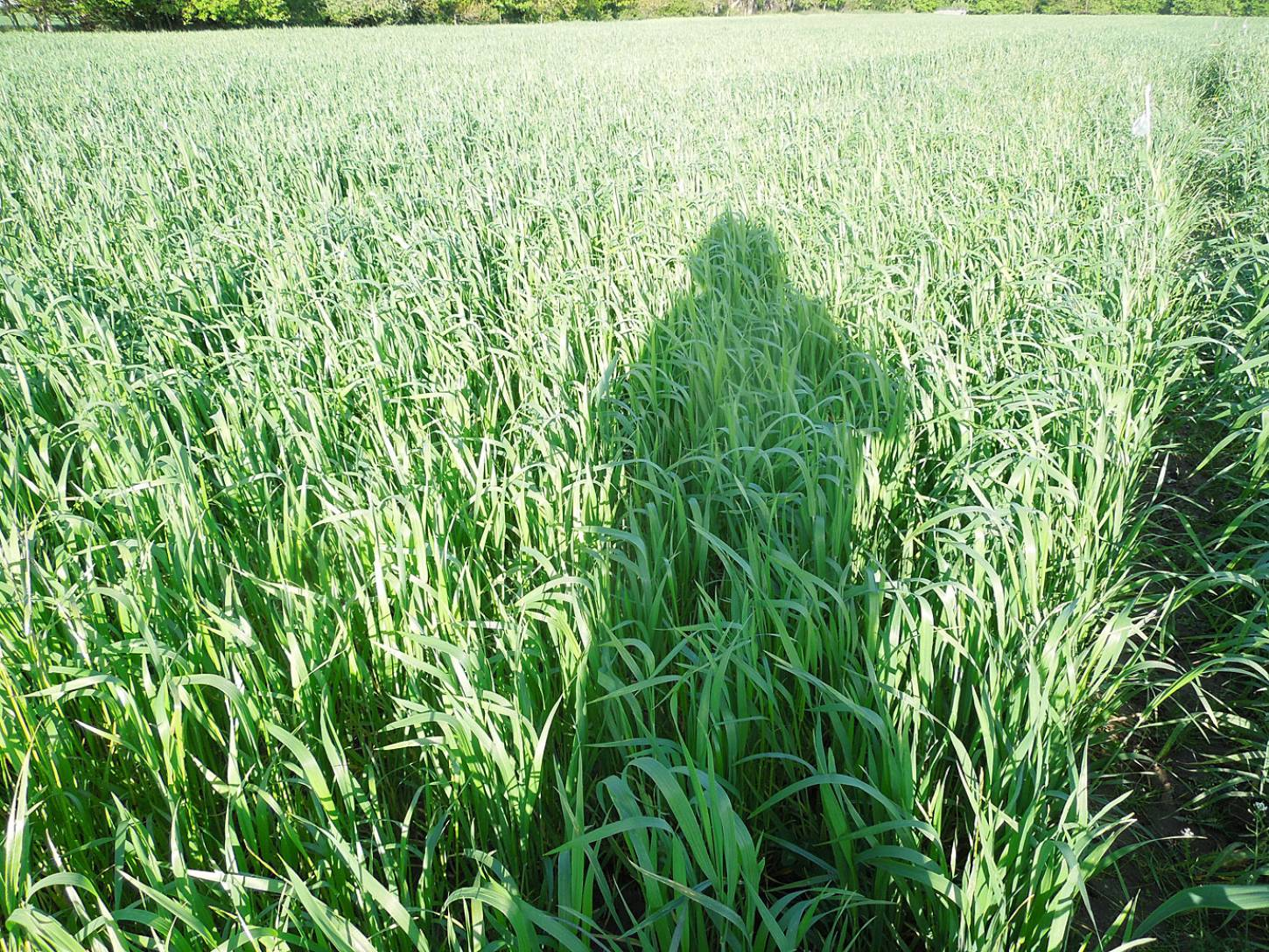 WoWo crop review - Red Lammas - 6:38pm&nbsp;21<sup>st</sup>&nbsp;May.&nbsp;'15