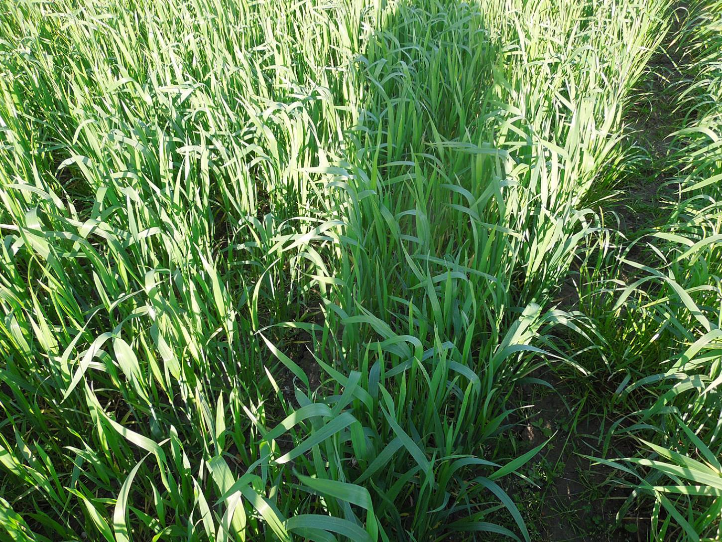 WoWo crop review - Ble de Flanders 08059 - 6:41pm&nbsp;21<sup>st</sup>&nbsp;May.&nbsp;'15