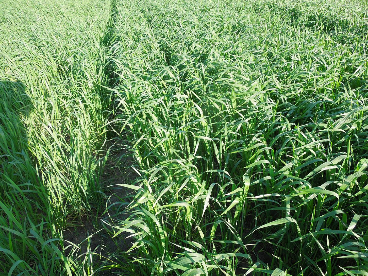 WoWo crop review - Old Kent Red - 6:44pm&nbsp;21<sup>st</sup>&nbsp;May.&nbsp;'15