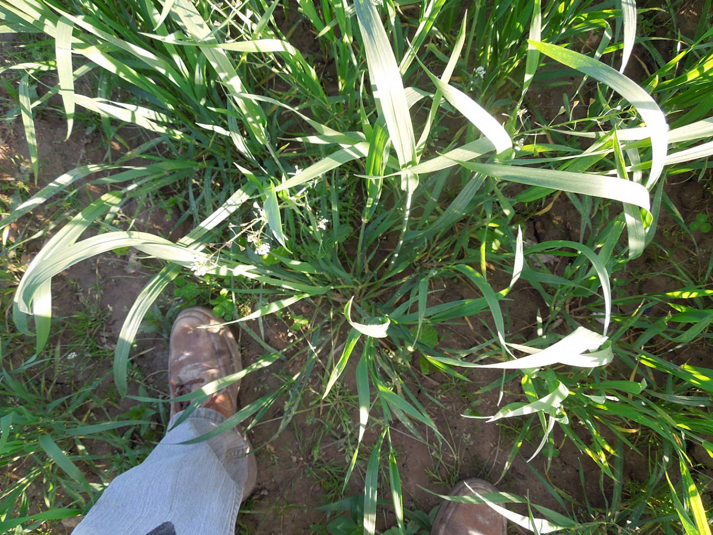 WoWo crop review - Chidham Red - 6:48pm&nbsp;21<sup>st</sup>&nbsp;May.&nbsp;'15