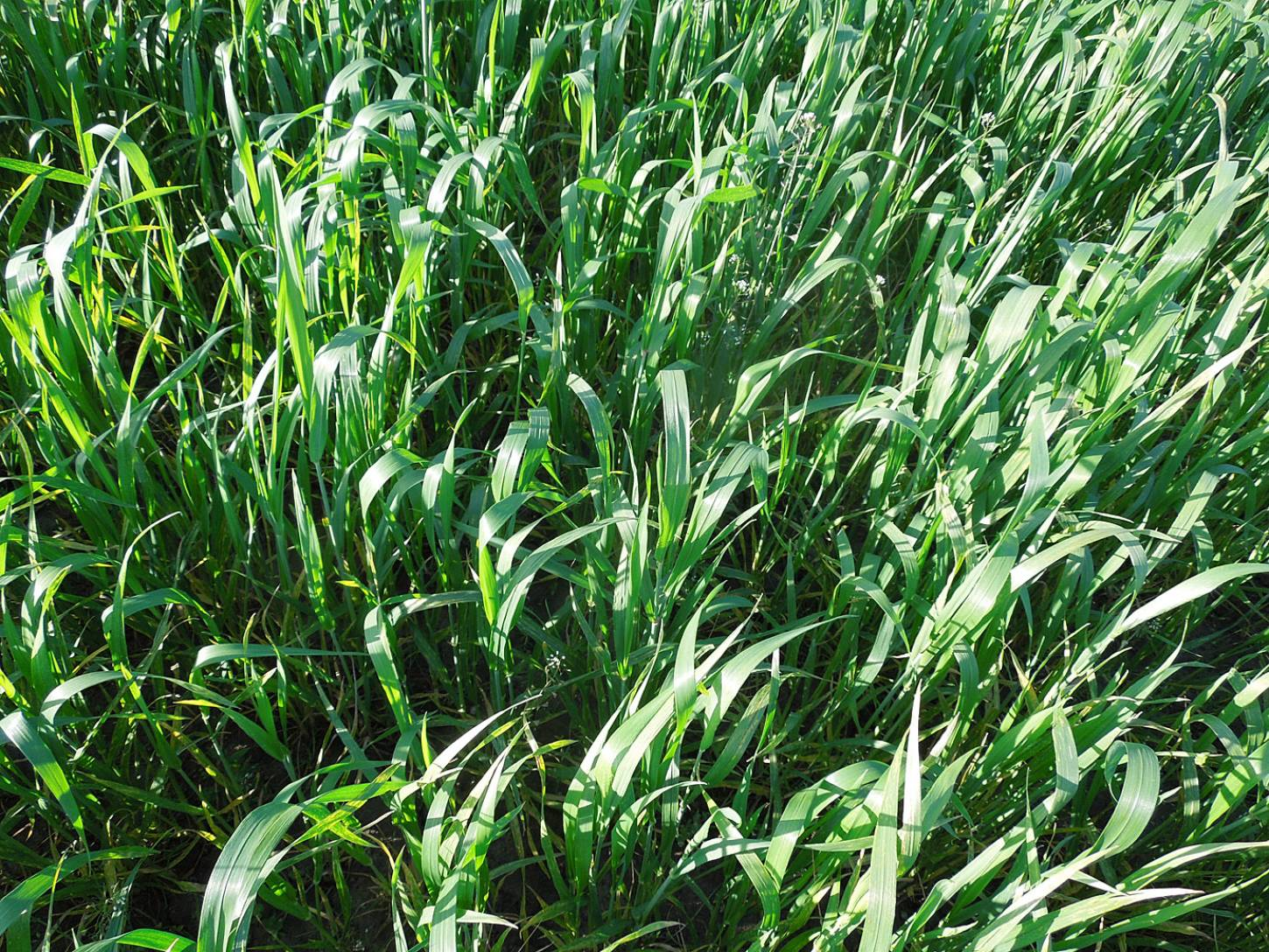WoWo crop review - Purple Spelt type Triticum Militinae - 6:52pm&nbsp;21<sup>st</sup>&nbsp;May.&nbsp;'15