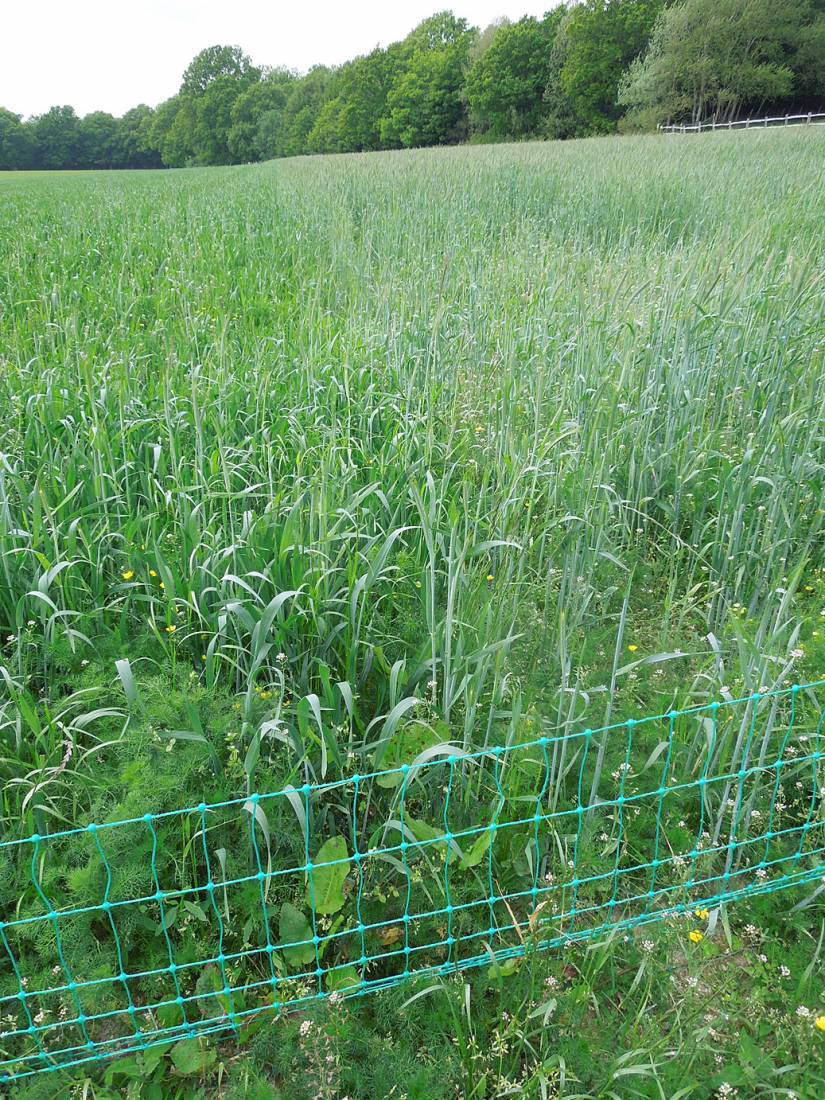 WoWo crop review - Nelson and Carotop Rye - 2:48pm&nbsp;24<sup>th</sup>&nbsp;May.&nbsp;'15