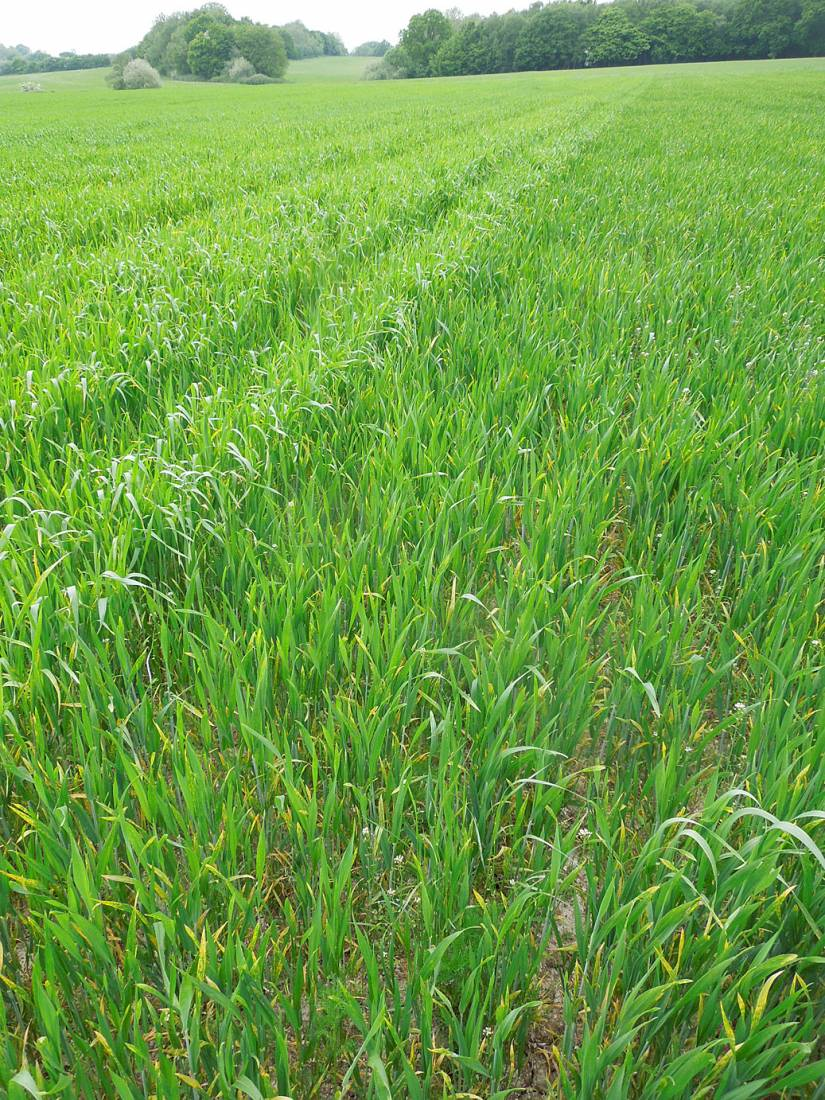 WoWo crop review - Millers Choice heritage mix on left and Magister - 2:51pm&nbsp;24<sup>th</sup>&nbsp;May.&nbsp;'15