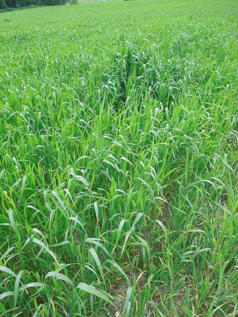 WoWo crop review - Millers Choice heritage population - 2:52pm&nbsp;24<sup>th</sup>&nbsp;May.&nbsp;'15