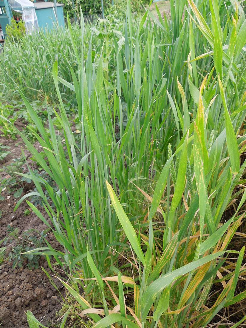 purple naked spelt review - late May - 6:57pm&nbsp;26<sup>th</sup>&nbsp;May.&nbsp;'15