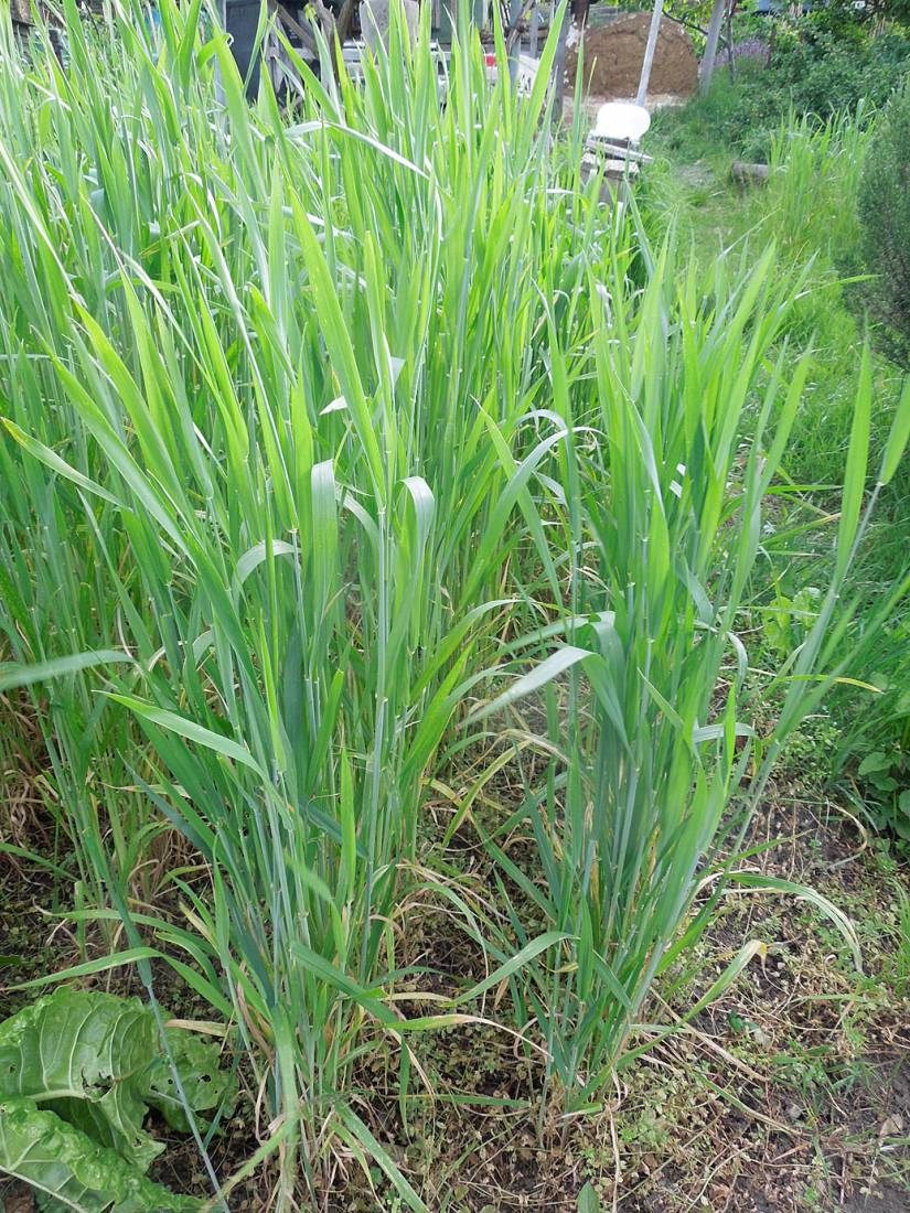 purple naked spelt review - late May - 6:59pm&nbsp;26<sup>th</sup>&nbsp;May.&nbsp;'15