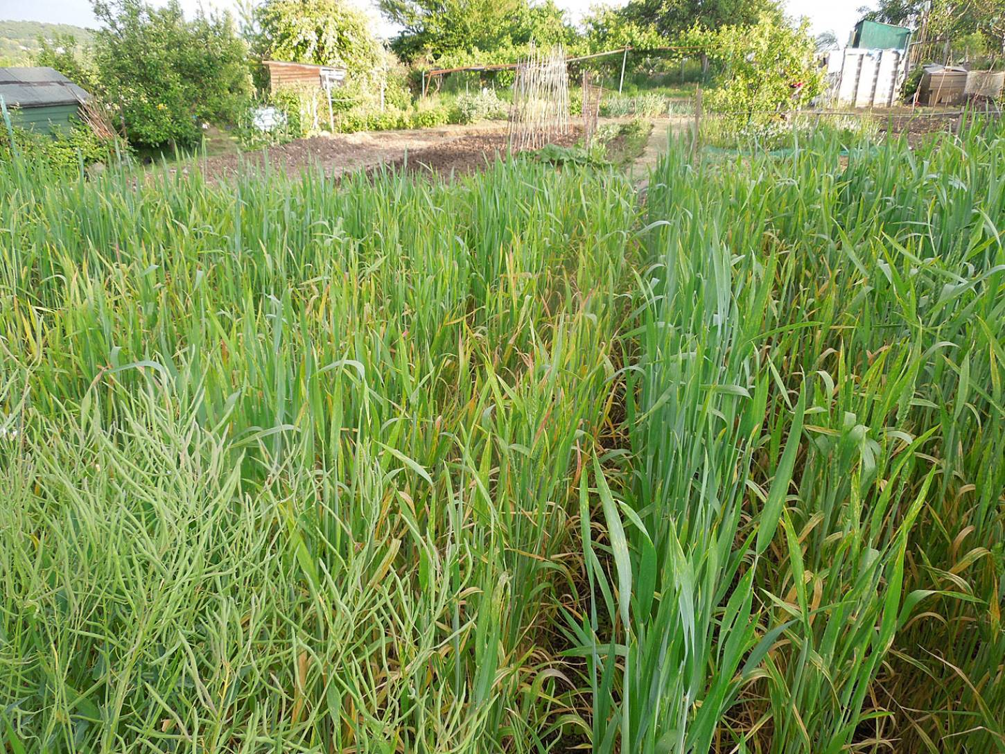 purple naked spelt review - late May - 7:26pm&nbsp;26<sup>th</sup>&nbsp;May.&nbsp;'15