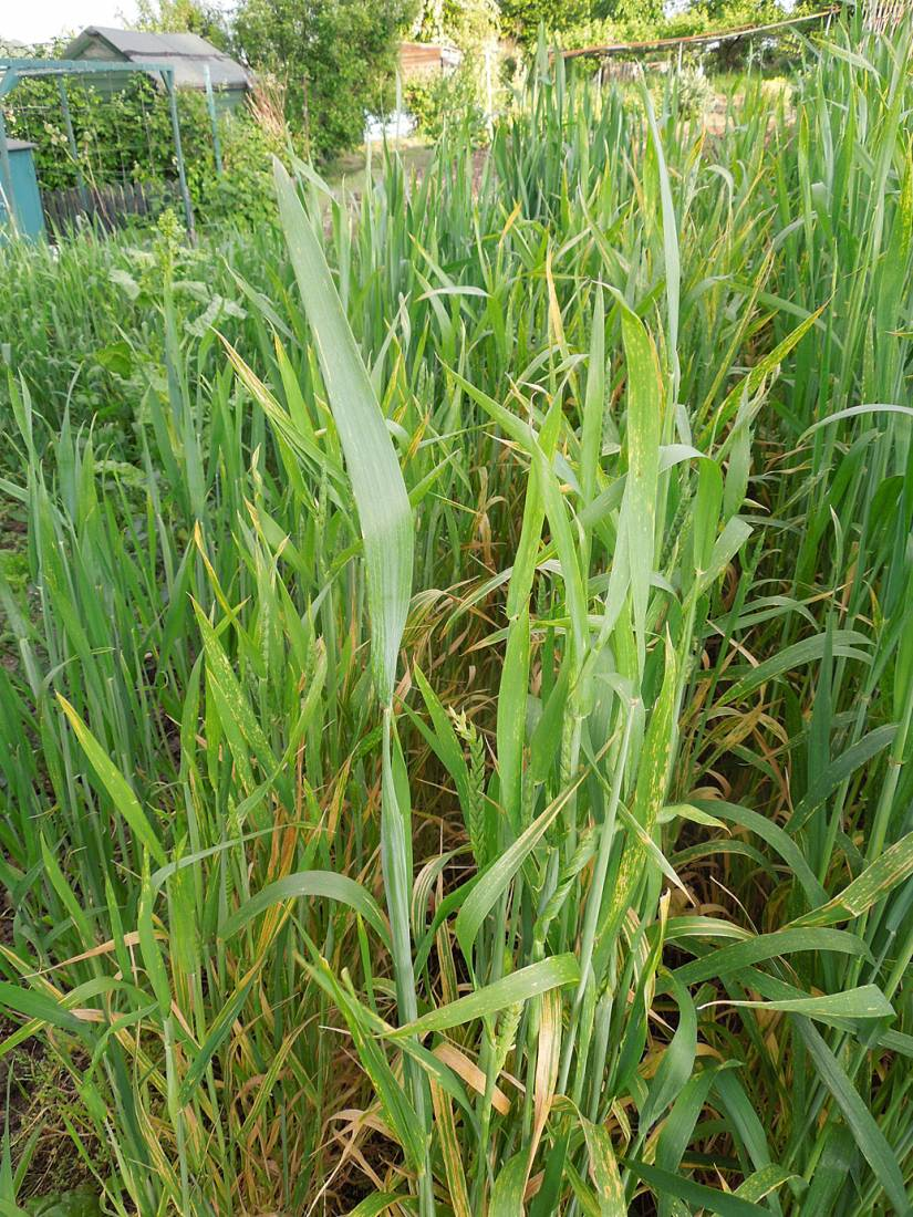 purple naked spelt review - late May - 7:27pm&nbsp;26<sup>th</sup>&nbsp;May.&nbsp;'15